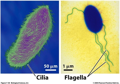 Cell Wall, Cilia & Flagella - Organelles of a Eukaryotic Cell